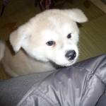 秋田犬の成長4ヵ月間