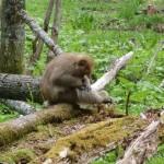 【二輪草の上高地3】また会えた! 上高地のお猿さん