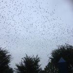 空いっぱいの、鳥の群れ