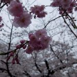 【京都小紀行 ひとり旅3】鴨川沿いの桜