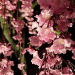 【京都小紀行 ひとり旅10】仏光寺の夜桜