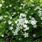 【上高地の春に再会5】上高地に咲く花