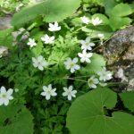 【上高地温泉5】上高地の春の花たち