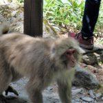 【上高地温泉7】お猿さんとお散歩