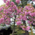 【京都小紀行 散る桜編1】平成の終わり、そして京都