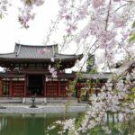 【京都小紀行 散る桜編4】平等院と枝垂れ桜