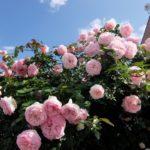 ローズカフェの薔薇
