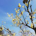 吉野梅郷の若い梅と、鹿野大仏