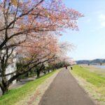 多摩川、睦橋付近の桜