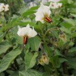 ジャガイモの花、4種