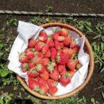 畑の頂き物と、アンデスレッド、シャドークィーンの収穫